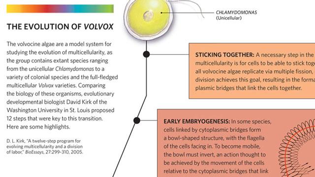 The Evolution Of Volvox The Scientist Magazine