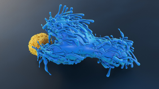 Illustration of a blue T cell engulfing a yellow dendritic cell