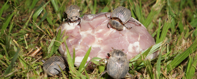 How Corpse-Eating Beetles Avoid Infection