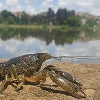 Pinpointing the Origin of Marbled Crayfish Clones