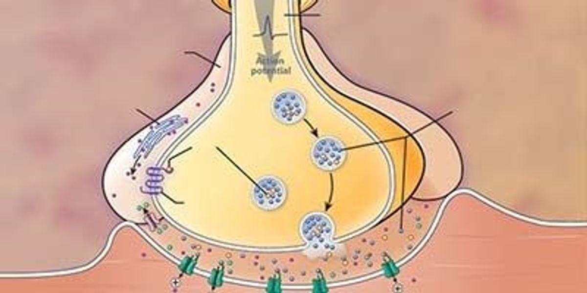 Certain Glial Cells Appear To Help Prevent Muscle Fatigue The Scientist Magazine
