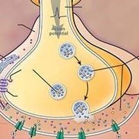 Certain Glial Cells Appear to Help Prevent Muscle Fatigue