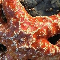 Deadly Wasting Syndrome Genetically Altered Sea Stars: Study