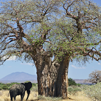 Africa's Oldest Baobab Trees Are Dying Suddenly