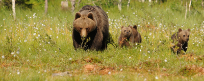 Hunting Regulations Shape Brown Bears' Care for Cubs
