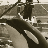 How Live Capture Changed Scientific Views of Killer Whales