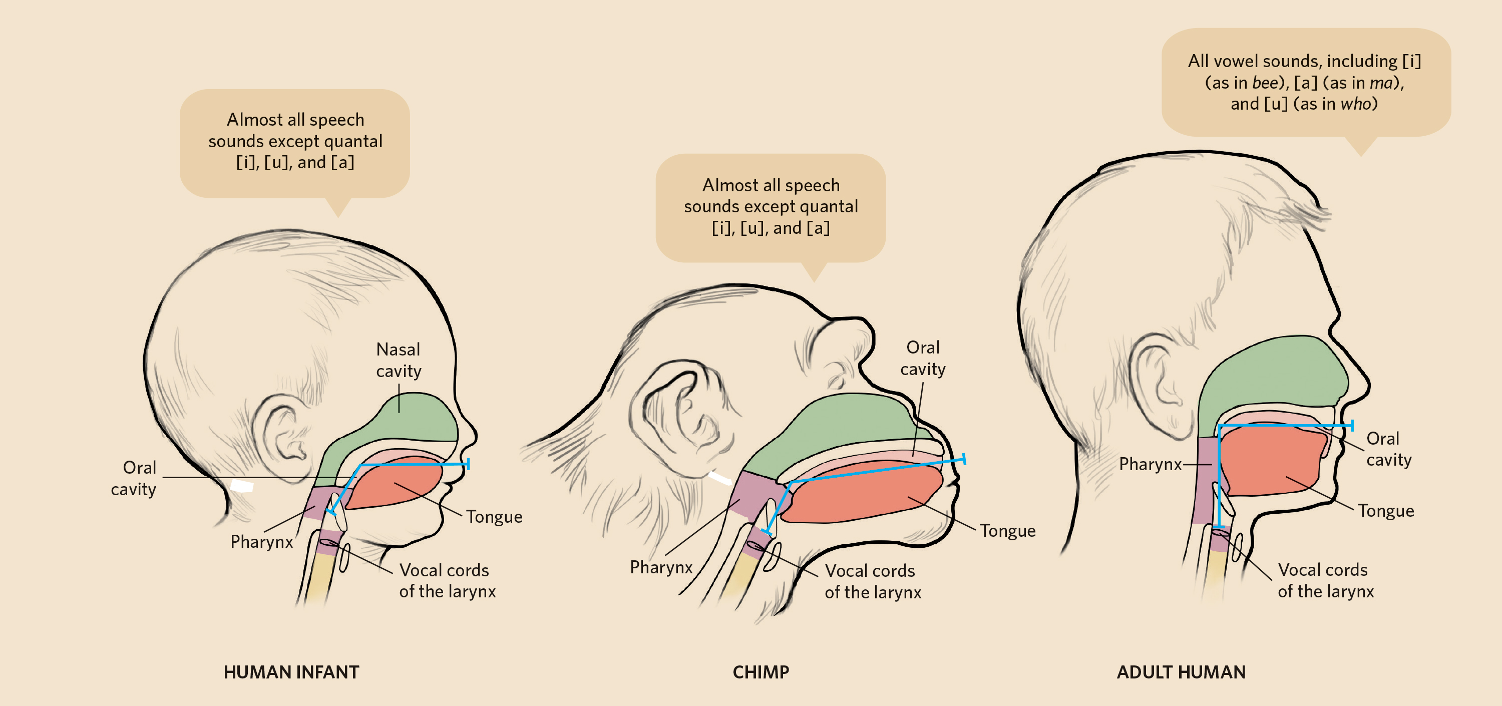 Primer: Acoustics and Physiology of Human Speech | The Scientist ...