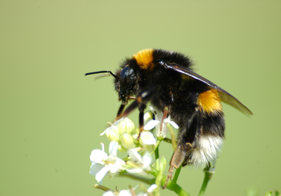 Bumblebees Fare Better in the City Than in the Countryside