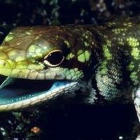 Lizards' Green Blood Evolved Four Times