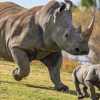 Zoo Pregnancy Raises Hopes of Preserving White Rhinos