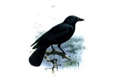 New Caledonian Crows Build Tools From Mental Images, Not Lessons