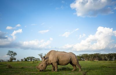 Viable Embryos Created With Northern White Rhino Sperm in the Lab