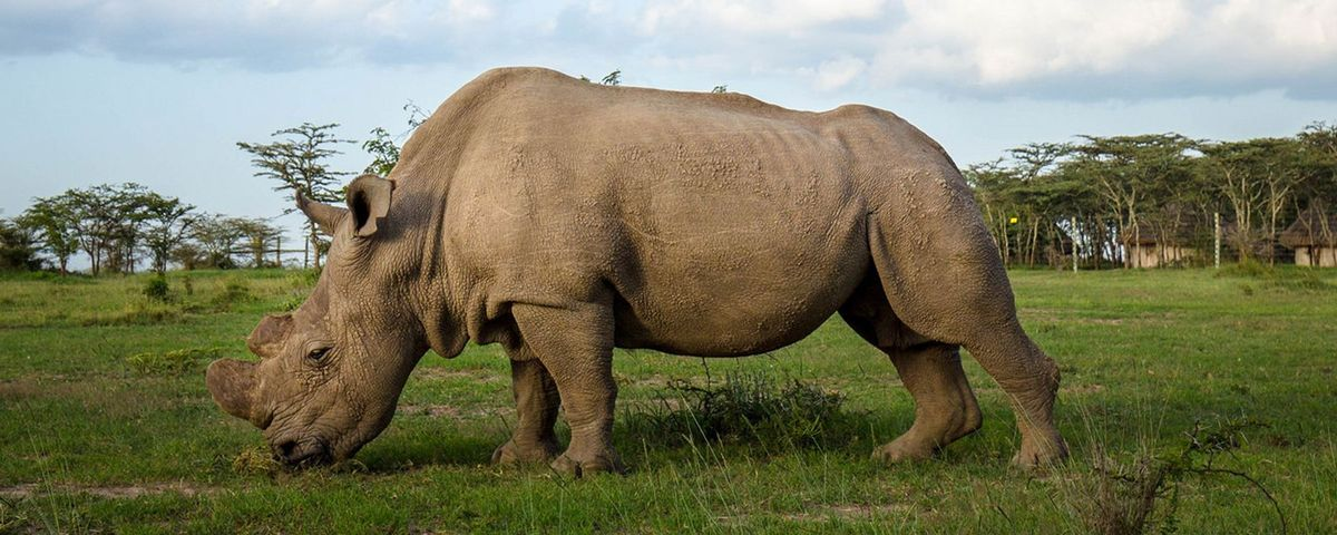 Viable Embryos Created With Northern White Rhino Sperm in