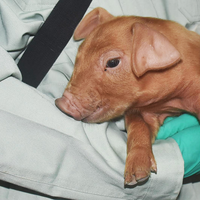 The Superpowers of Genetically Modified Pigs