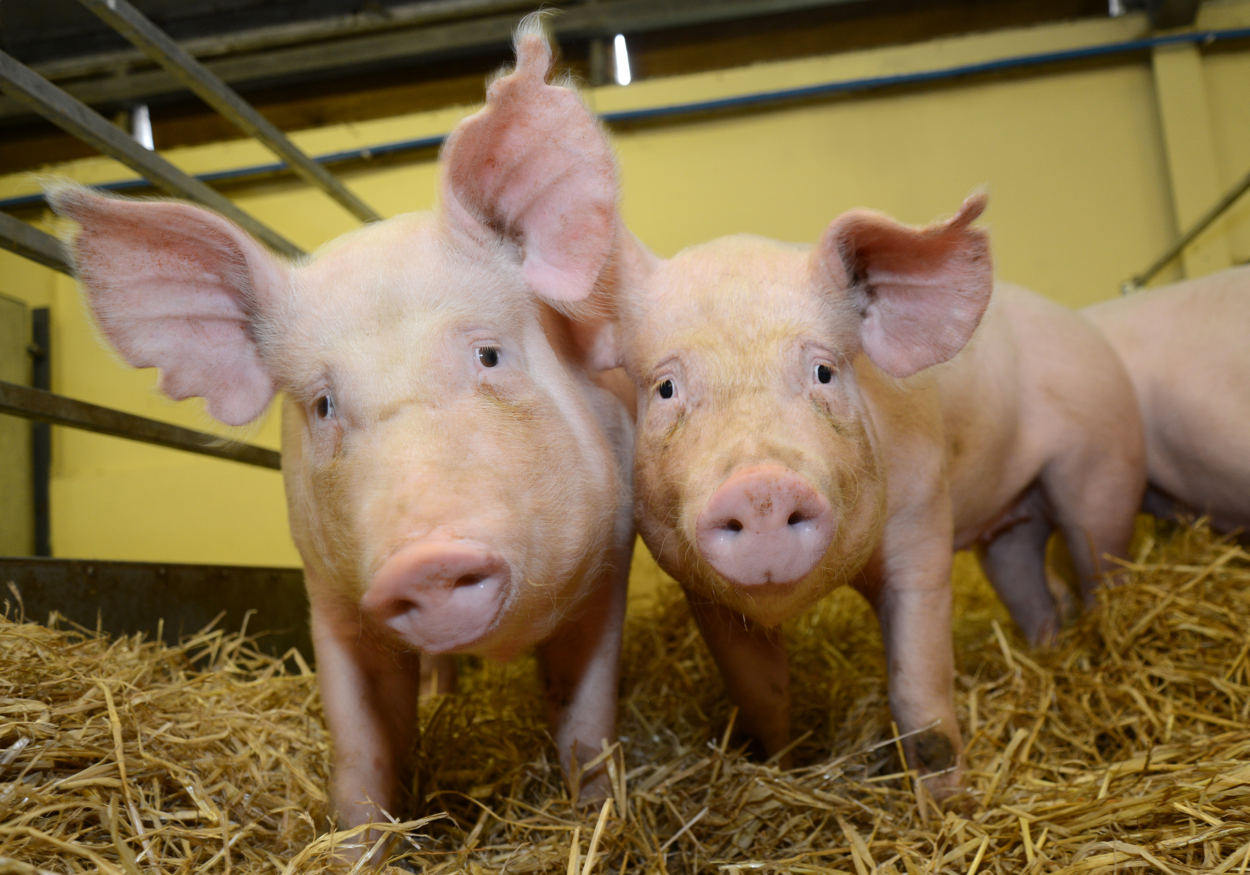 The Superpowers of Genetically Modified Pigs | The Scientist Magazine®