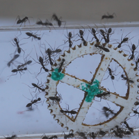 How Ants Make Collective Decisions