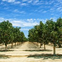 Scientists Can't Agree on What's Making Pistachio Trees Sick