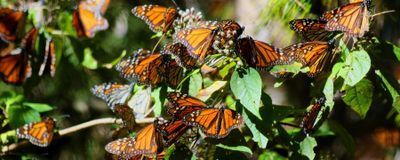 Monarch Butterfly Conservationist Dies