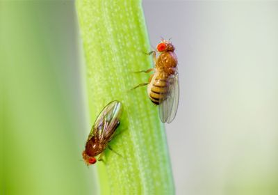 Fruit Fly Males Woo Females with Three Songs, Not Two