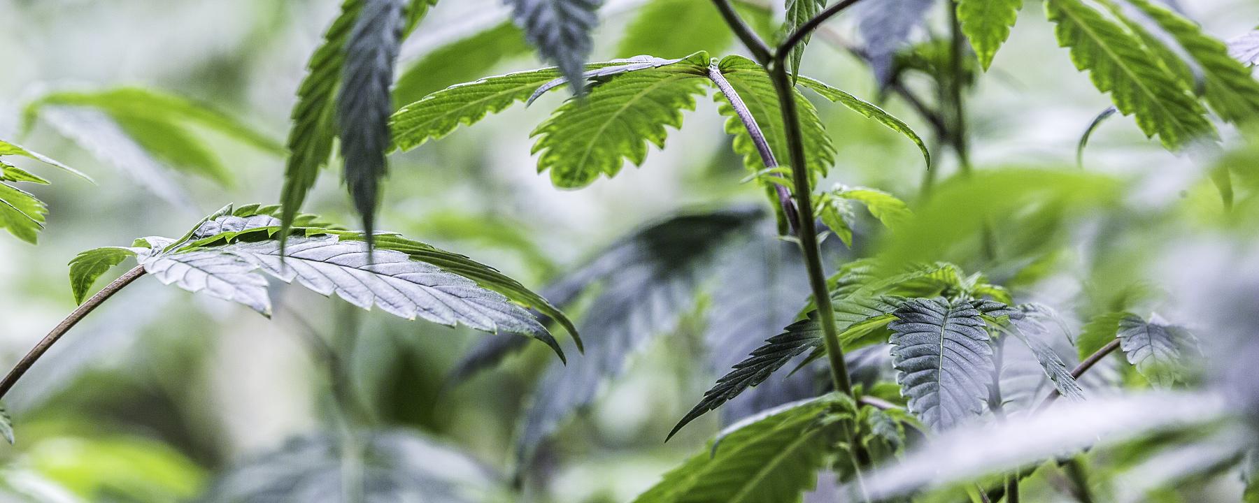 UK to Legalize Medicinal Cannabis