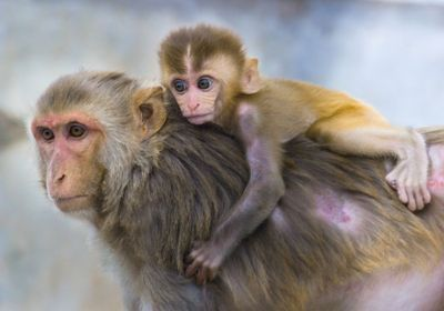Monkeys Pass on Brain Activity Patterns Linked to Anxiety
