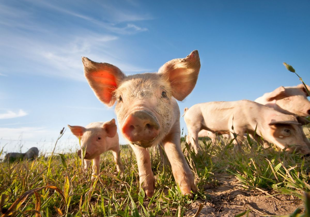 Lab Grown Lungs Transplanted Into Pigs The Scientist Magazine Blood Successfully Experimented On A Human