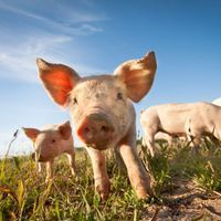 Lab-Grown Lungs Transplanted into Pigs