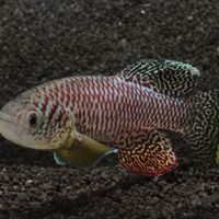 African Killifish Are the Fastest-Maturing Vertebrates