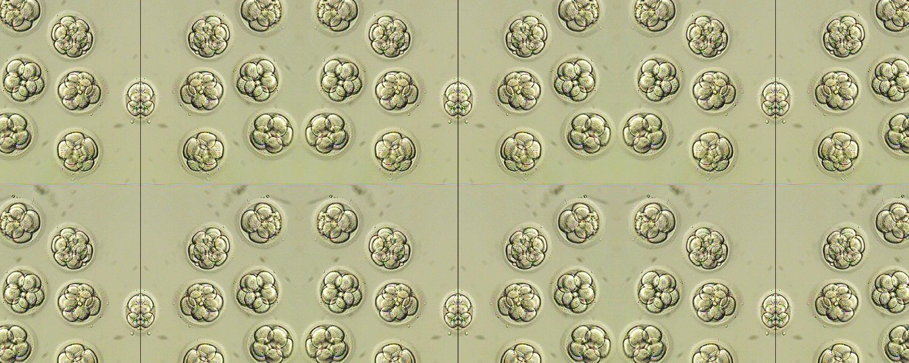 Doubts Arise Again About CRISPR'd Human Embryos