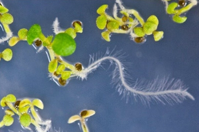 USDA Unveils New Gene-Stacking Tool to Prevent Plant