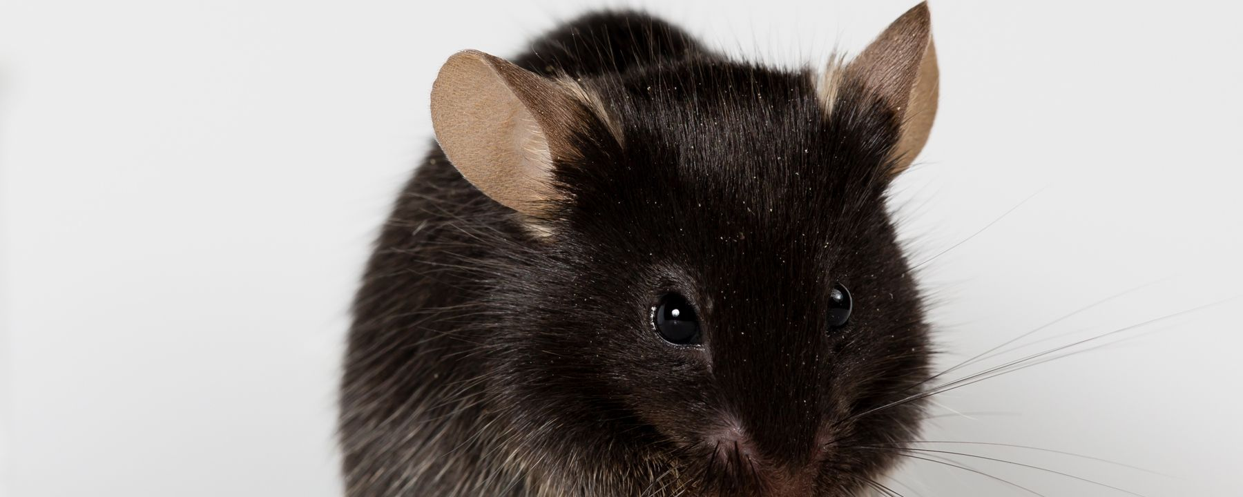 Reprogrammed Müller Glia Restore Vision in Mice