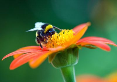 New Pesticide Affects Bumblebee Reproduction