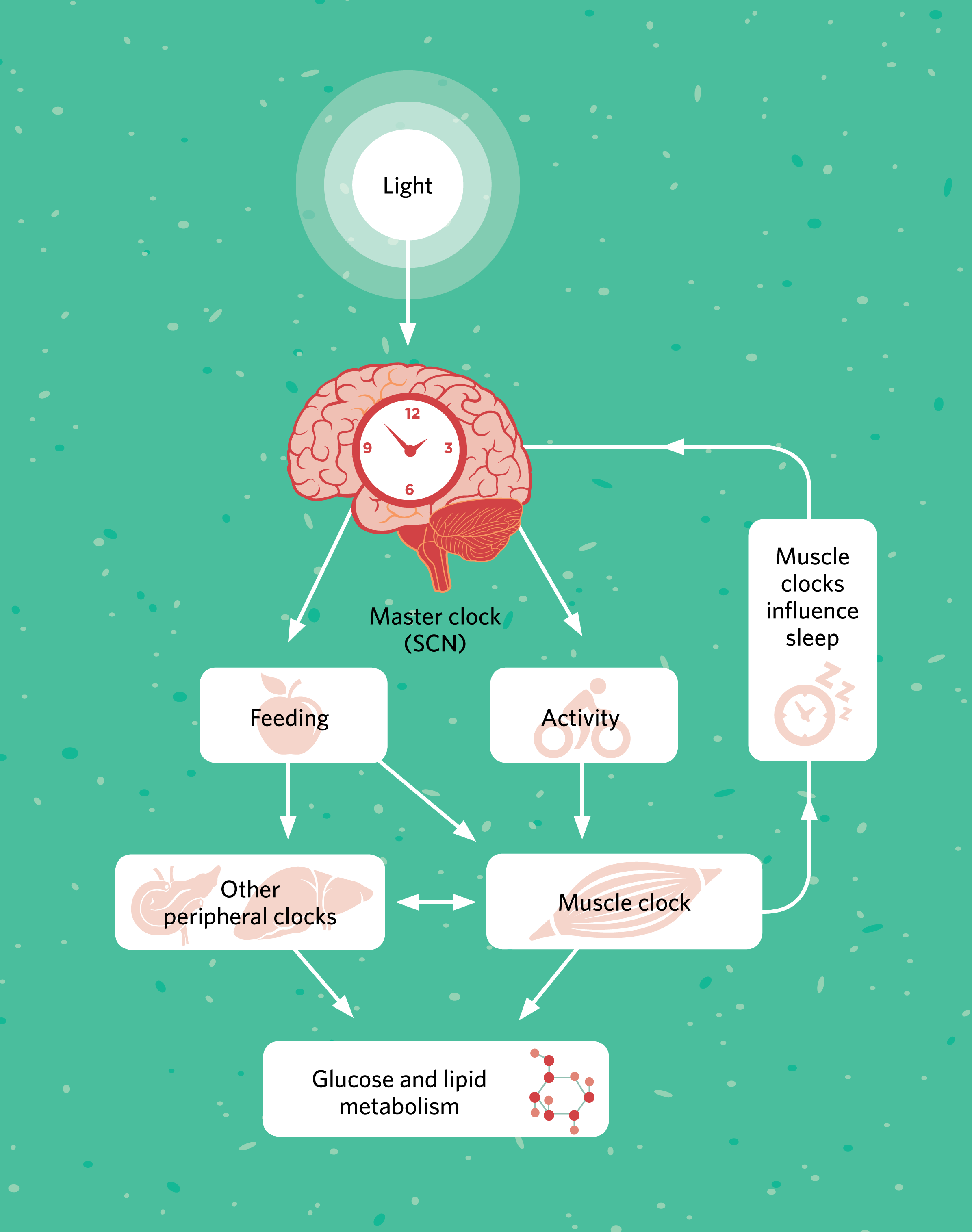 Muscle Clocks Play A Role In Regulating Metabolism The Scientist Well Human Cell Structure Diagram Besides Full Body Of Muscles Time Intrinsic Timekeepers Keep Bodys Metabolic Pathways Sync With Activity And Rest Cycles During Day