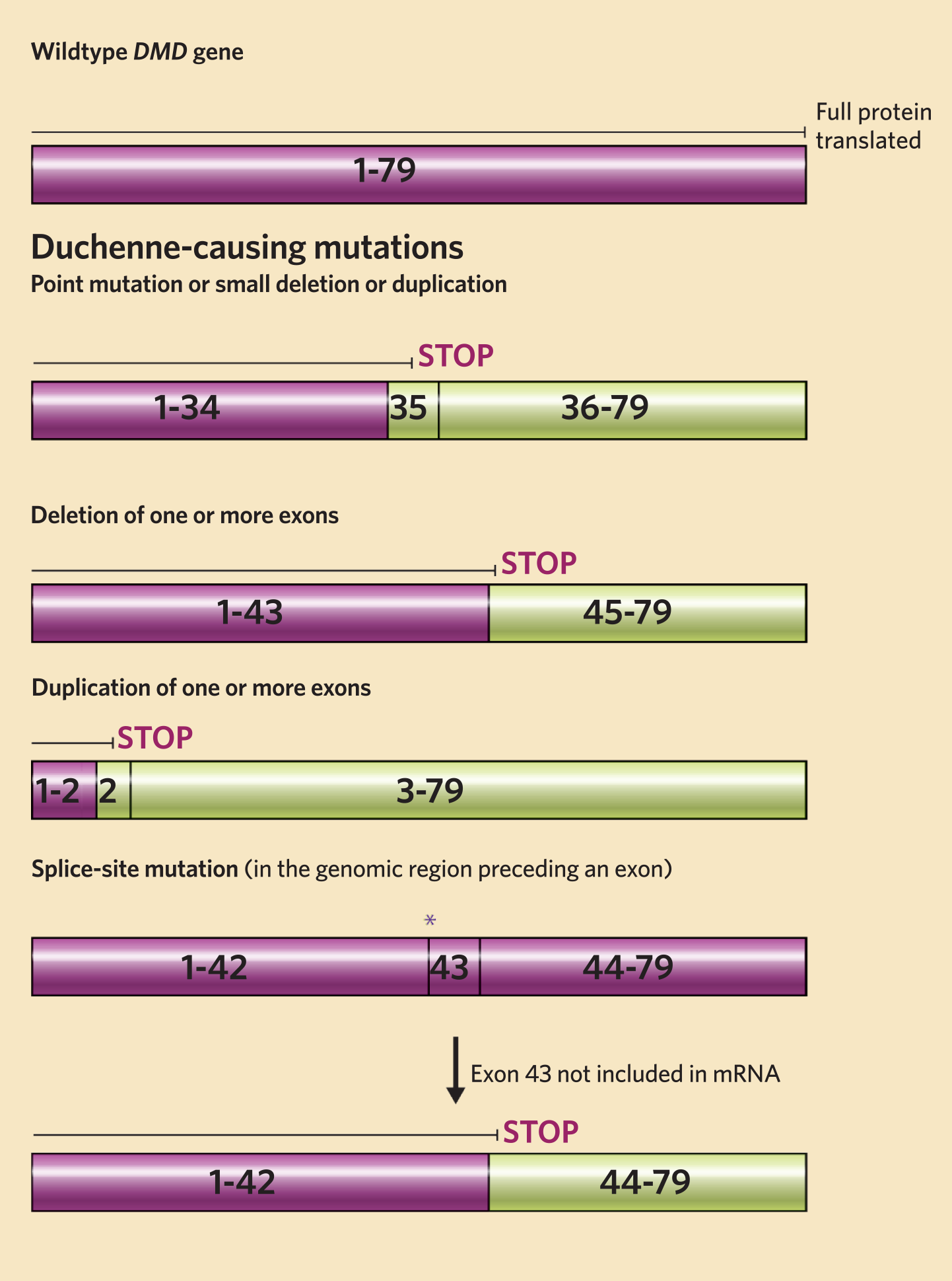 Gene Editing Could One Day Treat Muscle Disorders The Scientist