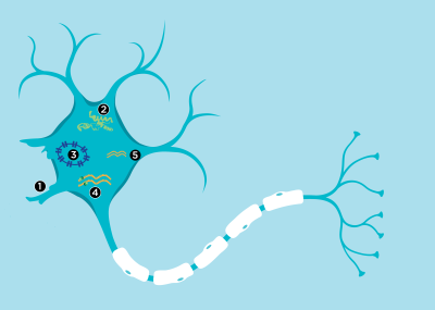 Infographic: Exploring New Therapeutic Targets in ALS