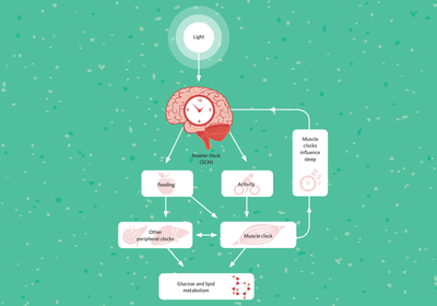 Infographic: The Role of Circadian Clocks in Muscle