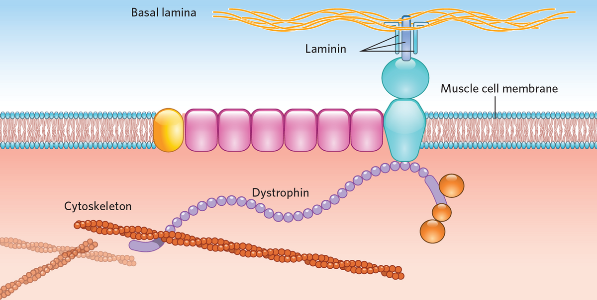 Infographic: Treating Duchenne Muscular Dystrophy with ...