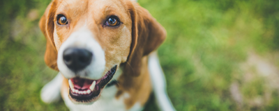 CRISPR Treatment for Duchenne Muscular Dystrophy Helps Dogs