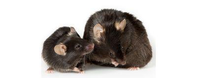 Microglia Cause Cognitive Decline in Obese Mice