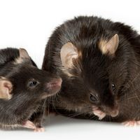 Microglia Cause Cognitive Decline in Obese Mice
