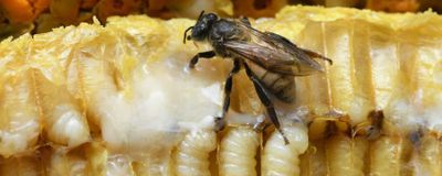 As Bees Specialize, So Does Their DNA Packaging