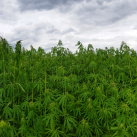 Zimbabwe's Medical Marijuana Future Uncertain