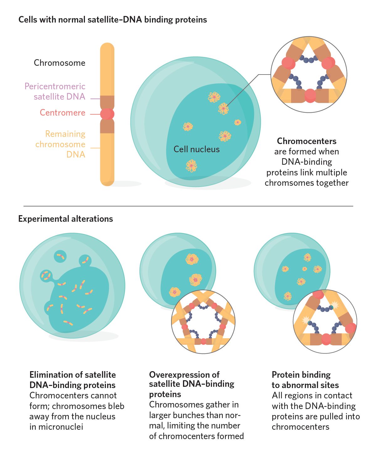 Chromosome Clusters Help Keep The Genome Together