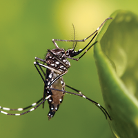 Ibuprofen's Effects Found in Offspring of Exposed Mosquitoes