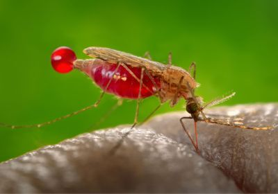 Study Gene Drive Wipes Out Lab Mosquitoes The Scientist Magazine