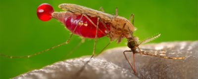 Study: Gene Drive Wipes Out Lab Mosquitoes