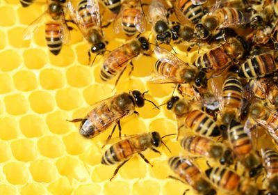 Herbicide May Harm Microbiome of Bees