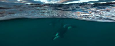 Long-Banned Pollutants Will Decimate Orcas: Study