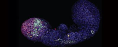 Mouse Stem Cells Made to Form Embryo-Like Structures