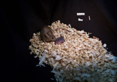 First Mouse Embryos Made from Two Fathers